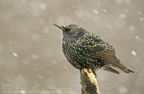 European Starlings Gallery