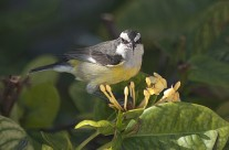 Bananaquit bird of Grand Cayman