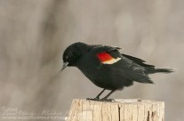 First Red Winged Blackbird of the 2013 season