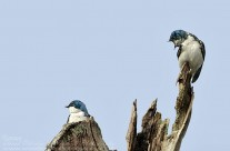 Domestic Disharmony – Pair of Tree swallows. All captions welcome