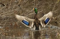Mallard Drake displaying his finery