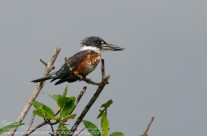 Costa Rican Ringed Kingfisher