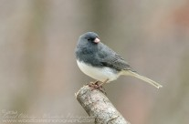 Male Dark Eyed Junco