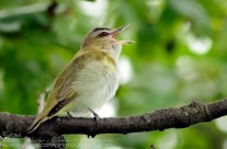 Red Eyed Vireo serenading