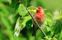 Male Purple finch