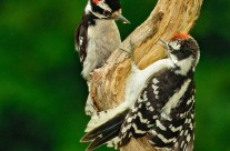 A pair of male Downy Woodpeckers getting grumpy