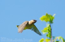 Cedar Waxwing on the wing