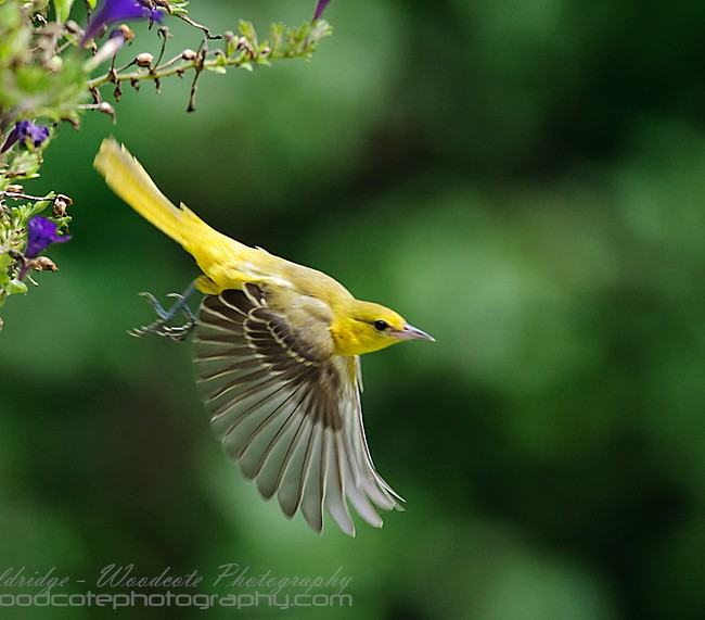 Female Orchard Oriole leaving the premises