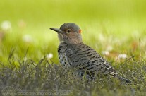 Unusual perspective of a Northern Flicker