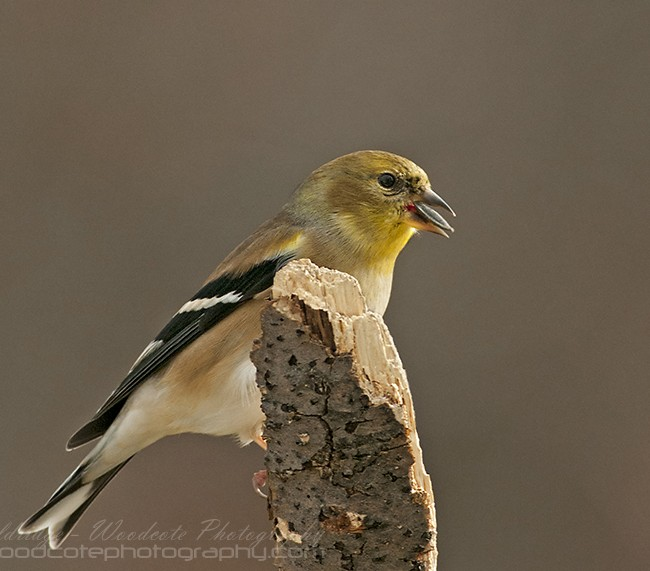 American Goldfinch in winter plumage
