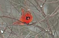Restless Northern Cardinal
