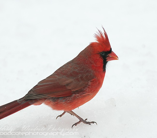 Male Northern Cardinal – Winter contrast