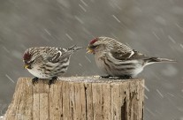 3 Redpolls out in the snow storm