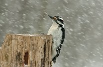 Head Above the Parapet. Hairy Woodpecker taking brunt of the blizzard