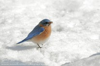 Slim pickings in the snow for this male Eastern Bluebird