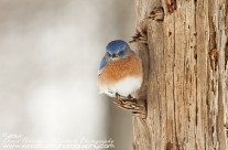 Male Eastern Bluebird fluffed up and sheltered against wind