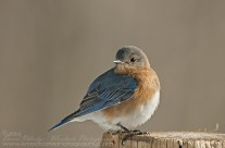 Male Eastern Bluebird in full pose