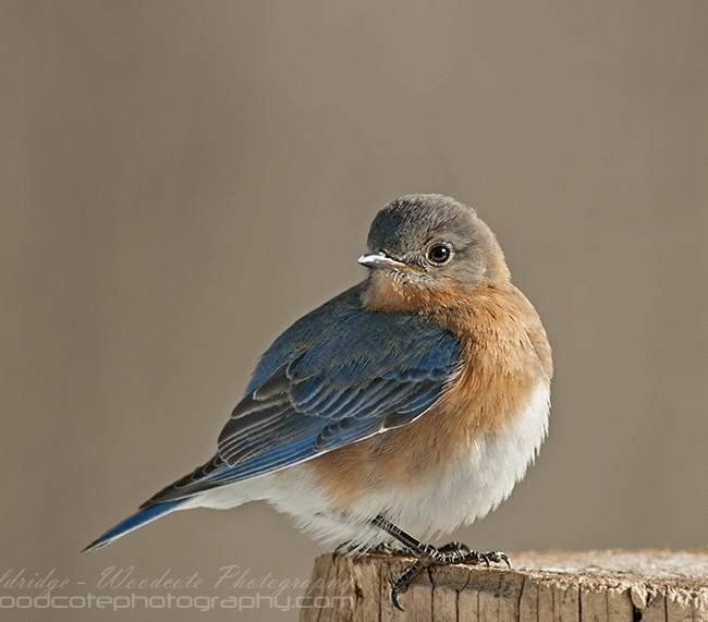 Male Eastern Bluebird in full pose