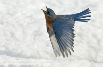 Strictly Come Dancing – Male Eastern Bluebird
