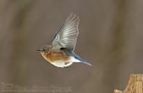 Eastern Bluebird on the wing