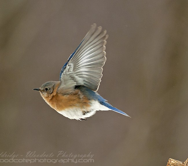 Eastern Bluebird on the wing