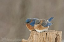 Togetherness – Eastern Bluebirds
