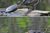 Female Hooded Merganser and Painted Turtle