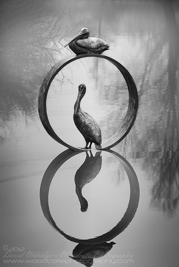 Pelicans in monochrome