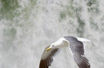Gull patrolling the Canadian Niagara Falls