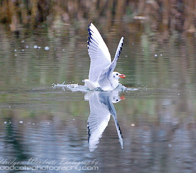 Reflective Blackheaded Gull