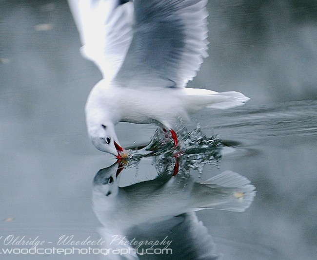Reflection of a Blackheaded Gull