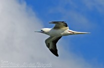 Pink Footed Booby