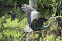 Great Blue Heron being chased off by a Grackle