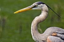 Great Blue Heron portrait shot