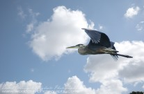 Great Blue Heron heading for new grounds