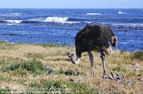 Wild Ostrich near Cape of Good Hope