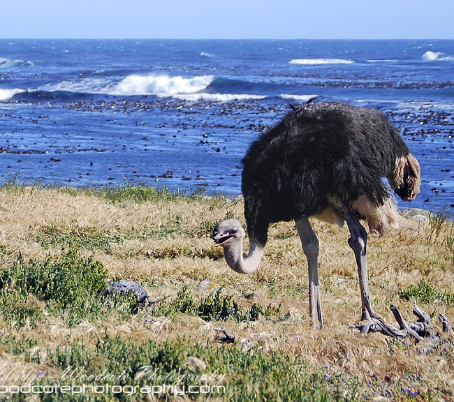 Wild Ostrich near Cape of Good Hope