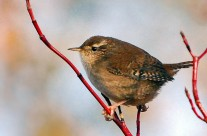 Wren on dogwood branch