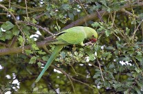 Ring Necked Parakeet – Wild in the UK