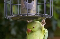 Hide and Seek – Ring Necked Parakeet – UK