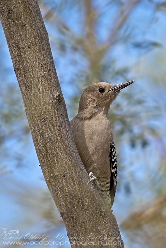 Juvenile Gila Woodpecker