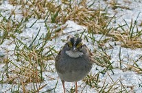 Winter reflection of a White Throated Sparrow