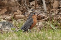 A mustachioed American Robin collecting nesting material