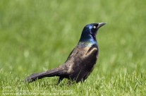 Common Grackle – normally appears black but here is almost luminescent in the sunlight