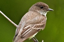 Eastern Phoebe Gallery