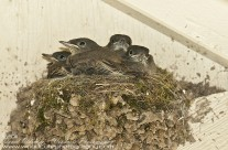 Nest of Eastern Phoebe chicks getting ready to fledge
