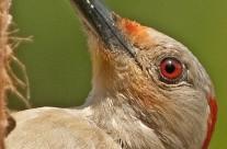 Portrait head shot of a female Red Bellied Woodpecker