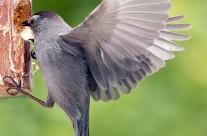Gray Cat Bird raiding the woodpeckers' table