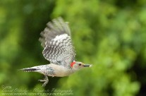 Red Bellied Woodpecker in flight