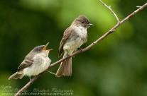 A hungry Eastern Phoebe chick berates the parent